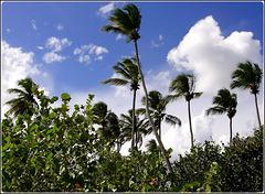 Bayahibe : Palme al vento e la pianta 'uva di mare' (coccoloba)
