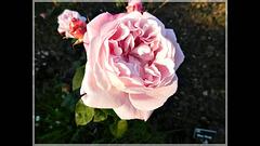 A la Roseraie de Quévert : Vidéo crée à partir de mes photos