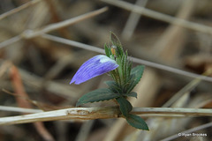 20150117-0825 Cynarospermum asperrimum (Nees) Vollesen