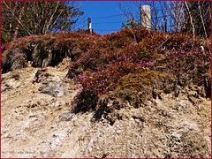 Winterheide, Erica herbácea - HFF