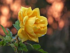 un'altra rosa di febbraio