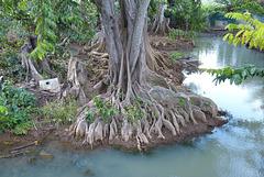 Baumwurzeln am Fluß