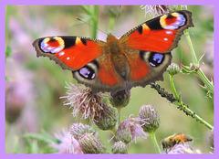 Nymphalidae----Aphidoidea-----A.M.Ligustica