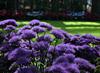 A Violet Explosion