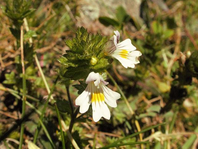 Euphraise naine = Euphrasia minima, Orobanchacées, bas Glacier du Mont Miné (Valais, Suisse)