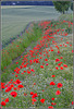 HFF-for everyone- poppy day
