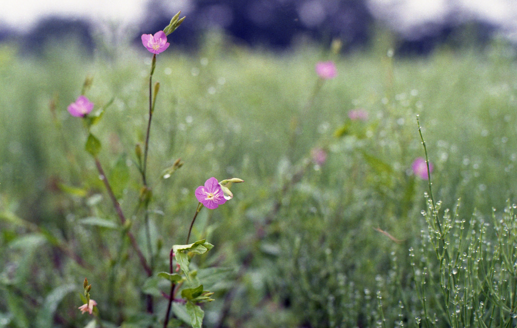 Little pink flowers by the paddy