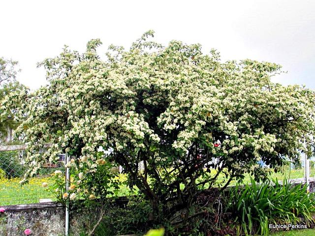 Our Kumarahou Tree