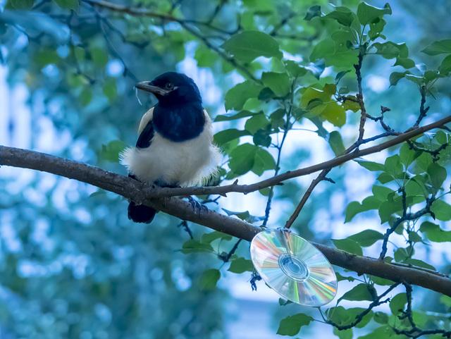 Juvenile Magpie WB Painted