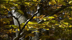 Fageda del bosc de les Ares