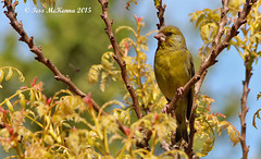 Green Finch  Explore 009 (2) copy