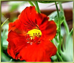Blüte der Großen Kapuzinerkresse (Tropaeolum majus) ©UdoSm