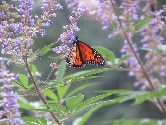 Monarch butterfly on Vitex flowers