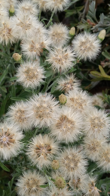 australian native daisy seed heads