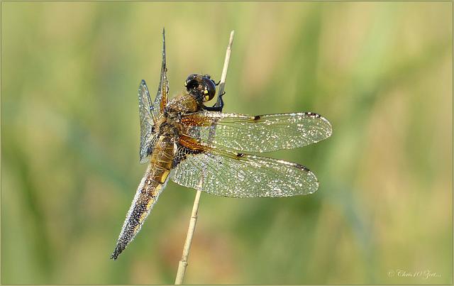 Four-spotted chaser ~ Viervlek Libel (Libellula quadrimaculata)... (+ 2x PiP)