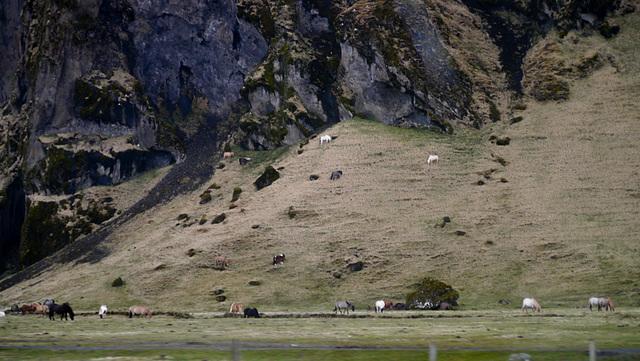 Icelandic Horse Habitat