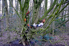 Roosters in a tree