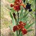 Iris Rustler (2)
