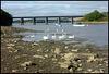 swans at Black Bridge