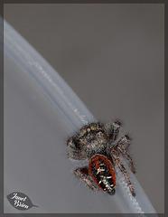 107/366: Jumping Spider Derriere