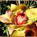 Cymbidium hybrid orchid flowers. ©UdoSm