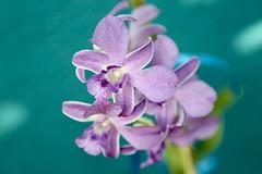 IMG 8934.  La nouvelle orchidée de ma fille