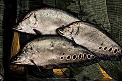 clown knifefish (chitala ornata)