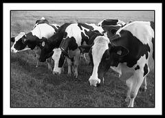 Prim'Holstein