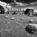 Suffolk sheep's paradise