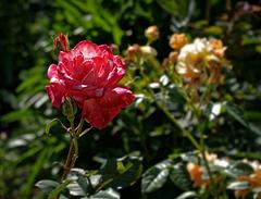 Rose.   5107618