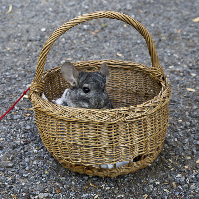 A soft and sociable friend - Chinchilla