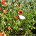 white poppy...
