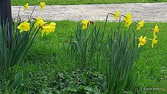 Golden Spring Beauty!