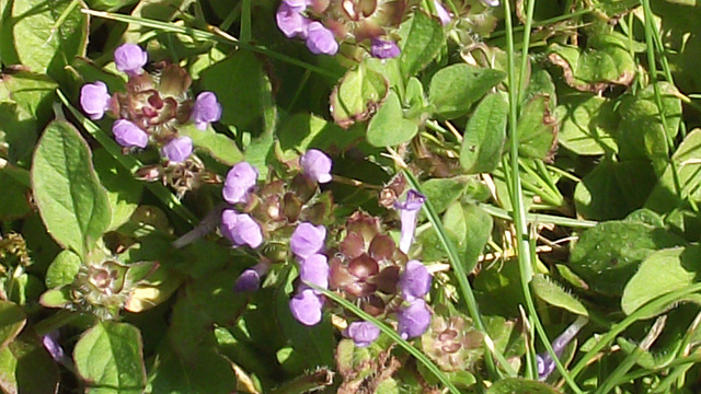 Some purple vetch is growing in the lawn