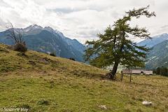 Lärche mit Hochstadel im Hintergrund (2.681m)