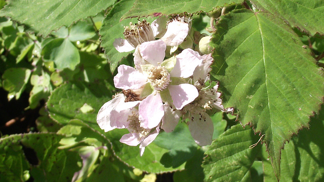 Soon there will be blackberries