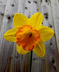 A daffodil from our garden.