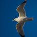 Seagull flight shot