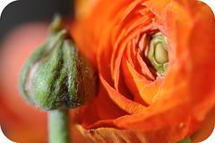 bud and blossom