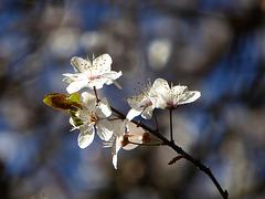 i pruni annunciano la primavera