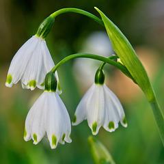 Spring Snowflake (Leucojum)