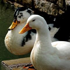 Una coppia che sfoggia un bel piumino d'oca ! - (483)