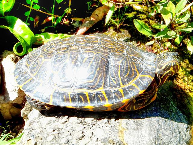 Zierschildkröte. ©UdoSm