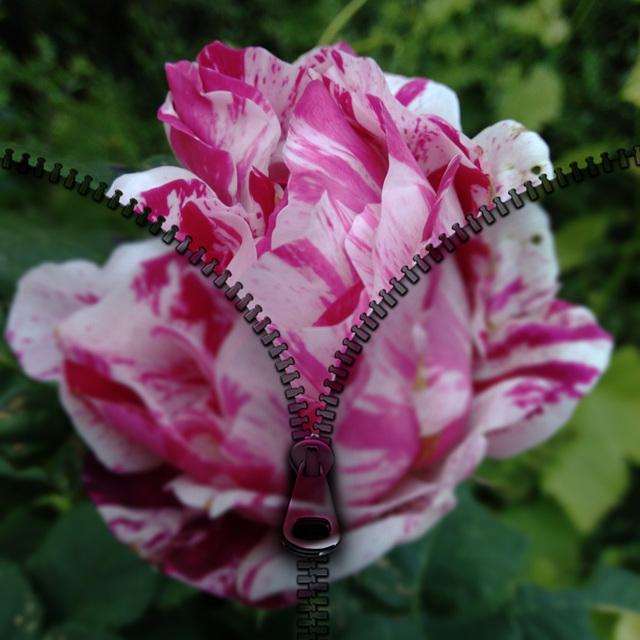 Rose au jardin avec PhotoBlender
