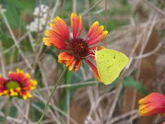 Cloudless sulphur on Gaillardia