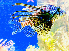 Coral reef fish.....Lionfish. Photographed in Noumea, New Caledonia.