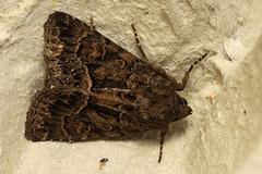 IMG 6637 Moth