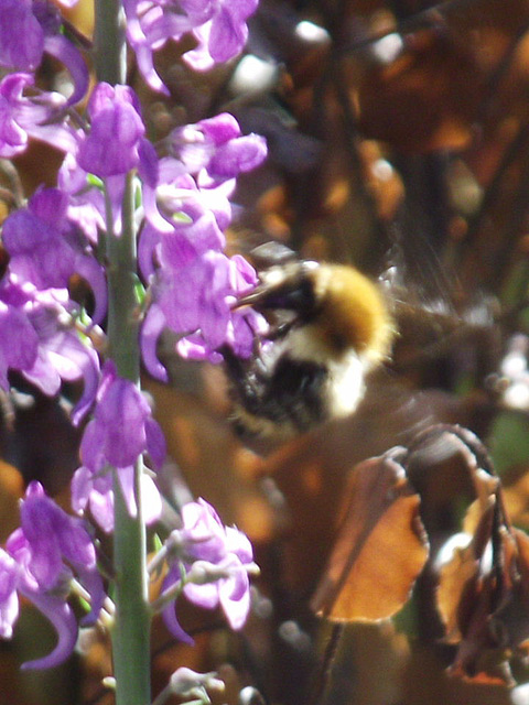 A blurred bee enjoying the nectar on the Purple Toadflax