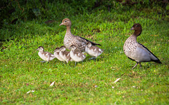 The Wood Duck family