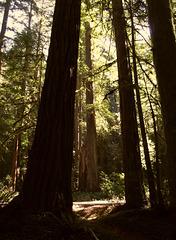 These are baby redwoods